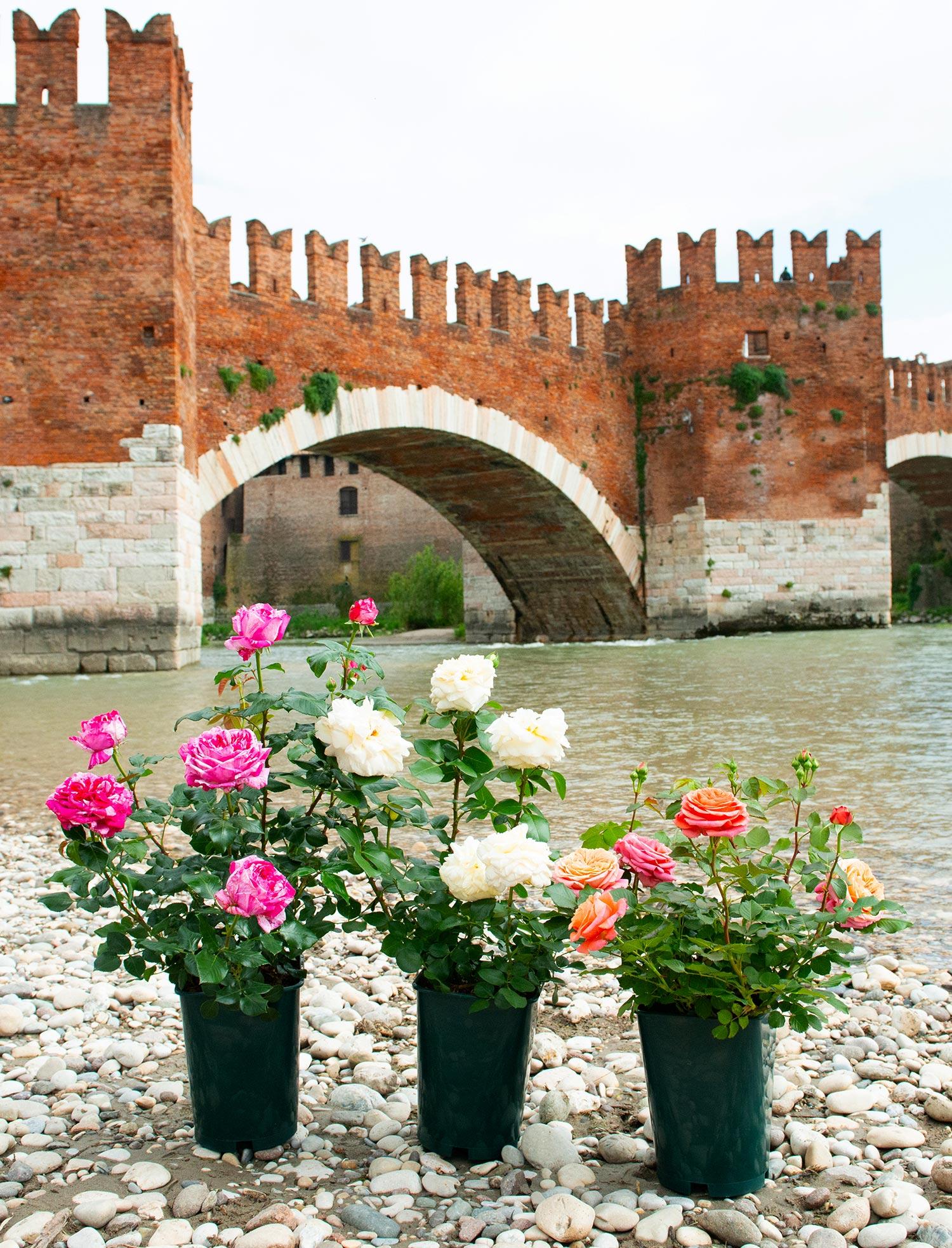 Rosa Rampicante In Vaso produzione rose di alta qualità all'ingrosso - arena vivai